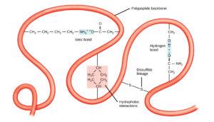 Amino Acid and Peptide Bonds