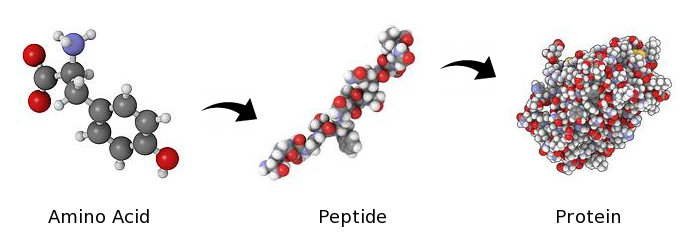 Image result for peptide polypeptide amino acid protein