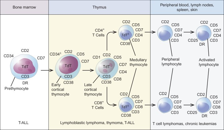 The maturation of the T cell from the bone marrow to the thymus to the peripheral blood, lymph nodes, spleen, and skin.