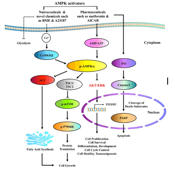 AMPK activators, like AICAR, influence a number of pathways that can impact cancer growth.