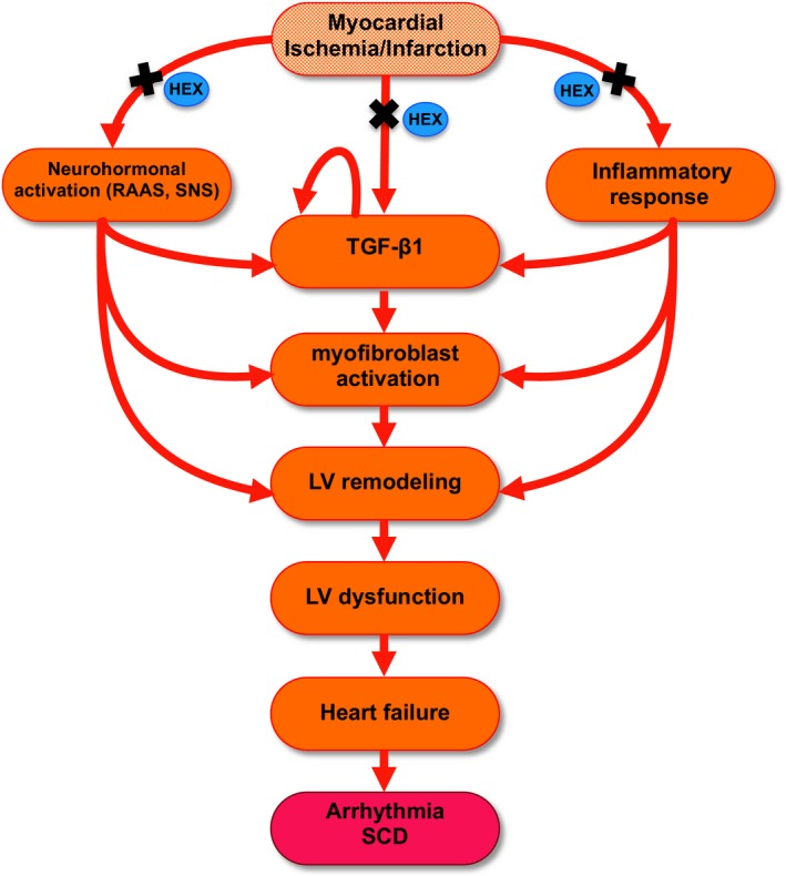 Diagram showing progression to serious long-term disease following heart attack. Blue ovals indicate how hexarelin interferes with this pathway.