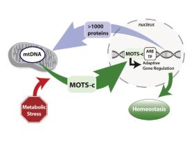MOTS-C Structure