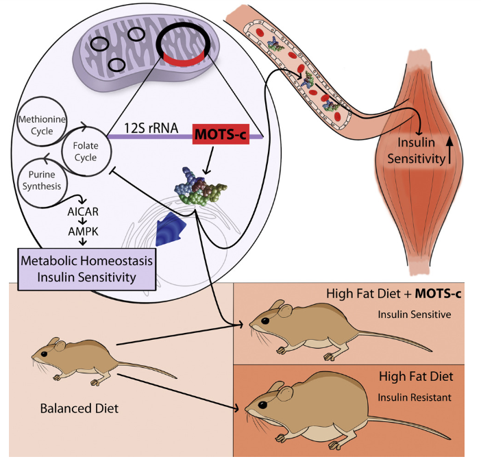 MOTS-c supplementation in rats prevents mitochondrial dysfunction and prevents the accumulation of fat even in the setting of a high-fat diet.