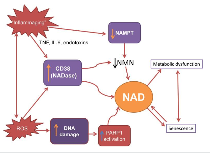Possible way in which NAD+ decline affects cellular mechanisms of aging.